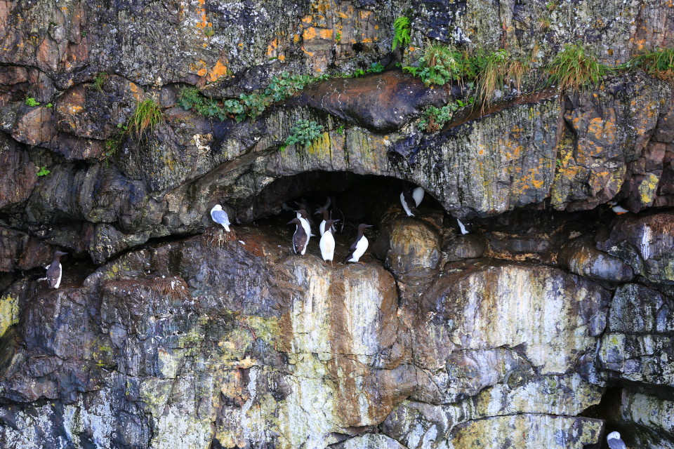 Many different sea birds along the cliff, some looked just like penguins. My favorite were the Puffins.