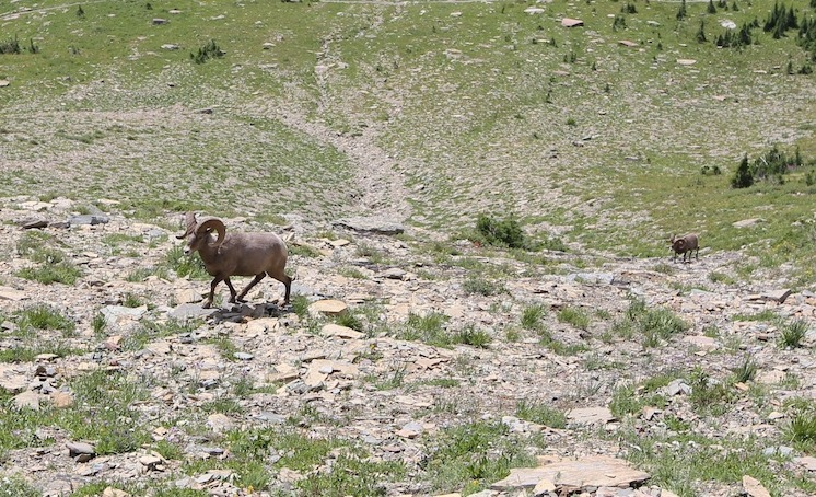 When you see mountain sheep below you, it means you climbed really high!