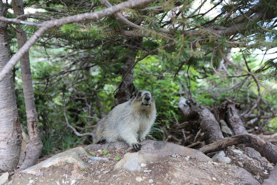 We saw this marmot at the beginning of the trail head.