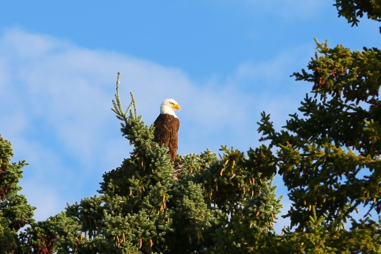 We saw our first eagle on the Alcan