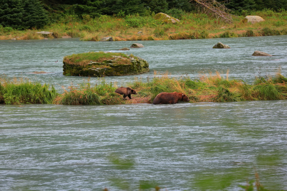 After the hike we were driving and I yelled to stop the car, there were bears about 100 feet from us eating salmon in a river.