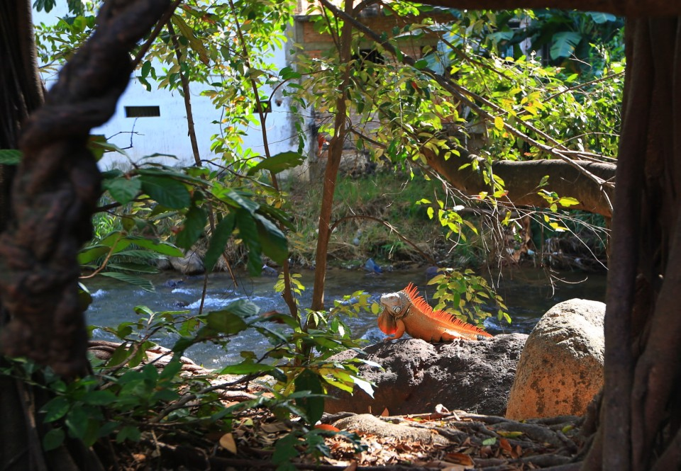 ... a giant iguana!  We're definitely in the tropics now.