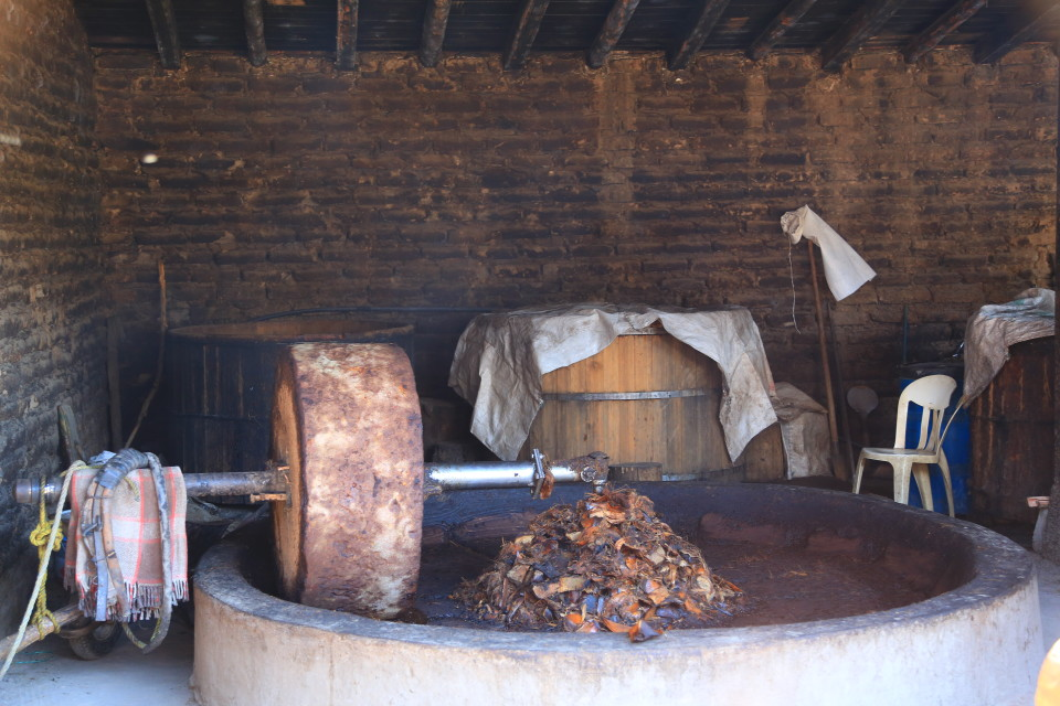 A horse gets hooked up to the press and they squeeze the juice out of the fermented agave.