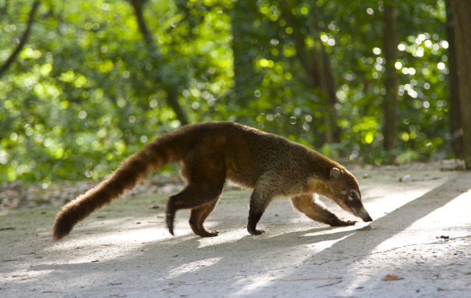 The prodigious coatimundi. They were everywhere.