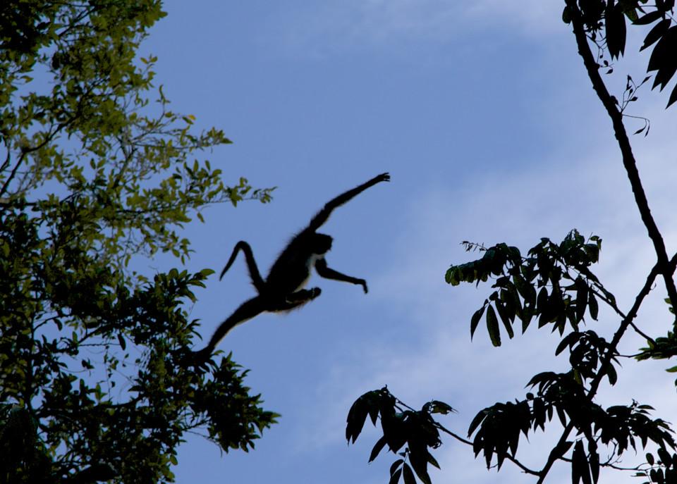 Another one jumping. They were much bigger than the smaller spider monkeys I saw in Costa Rica.