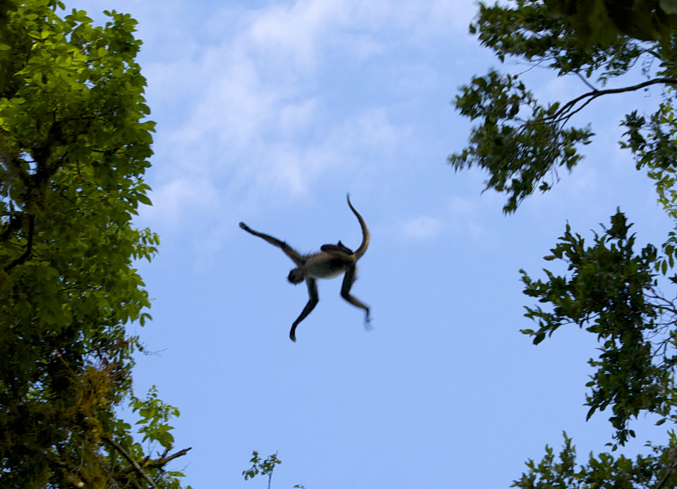 Spider monkey flying from tree to tree!