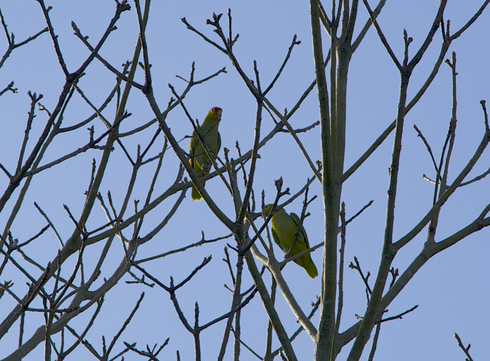 Green parrots squawking loudly in the trees.