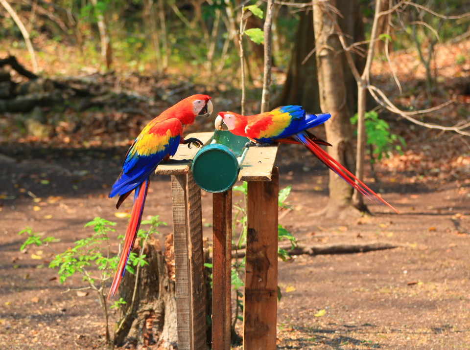 The scarlet Macaws at one of the feeding stations set up for them.