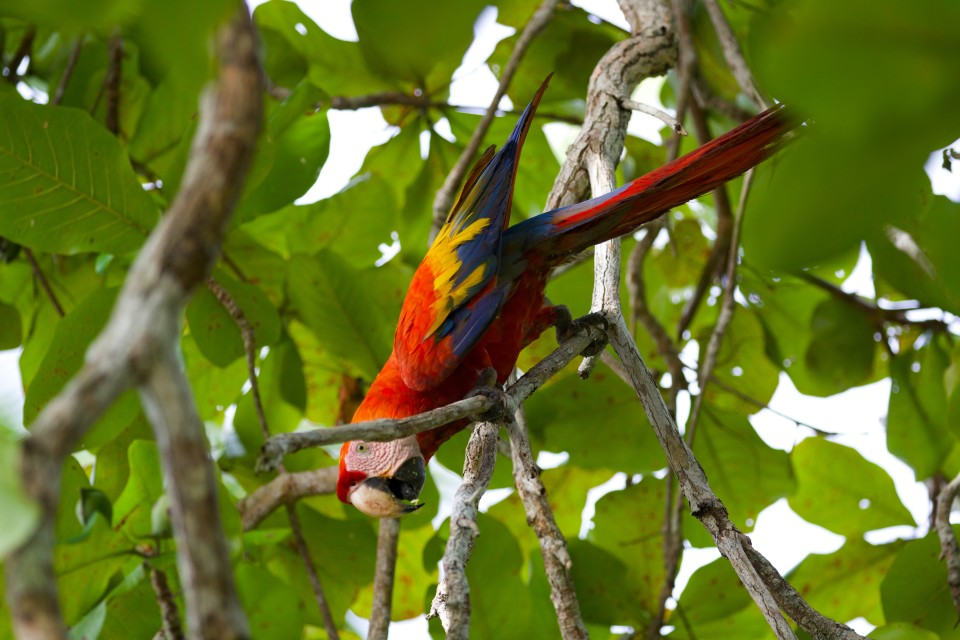 This scarlet macaw is searching for a fruit growing in this tree.