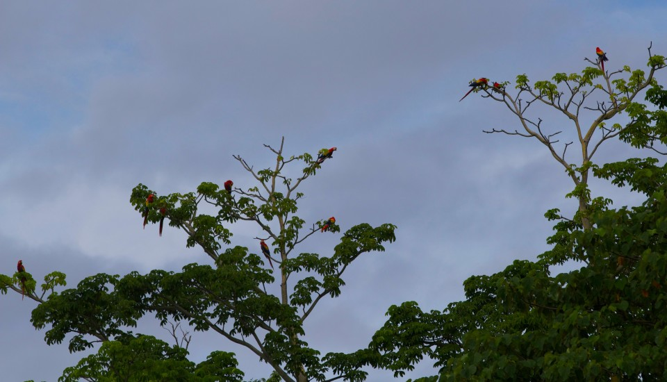 Look close to see all the scarlet macaws up in the tree. So many of them at this beach.