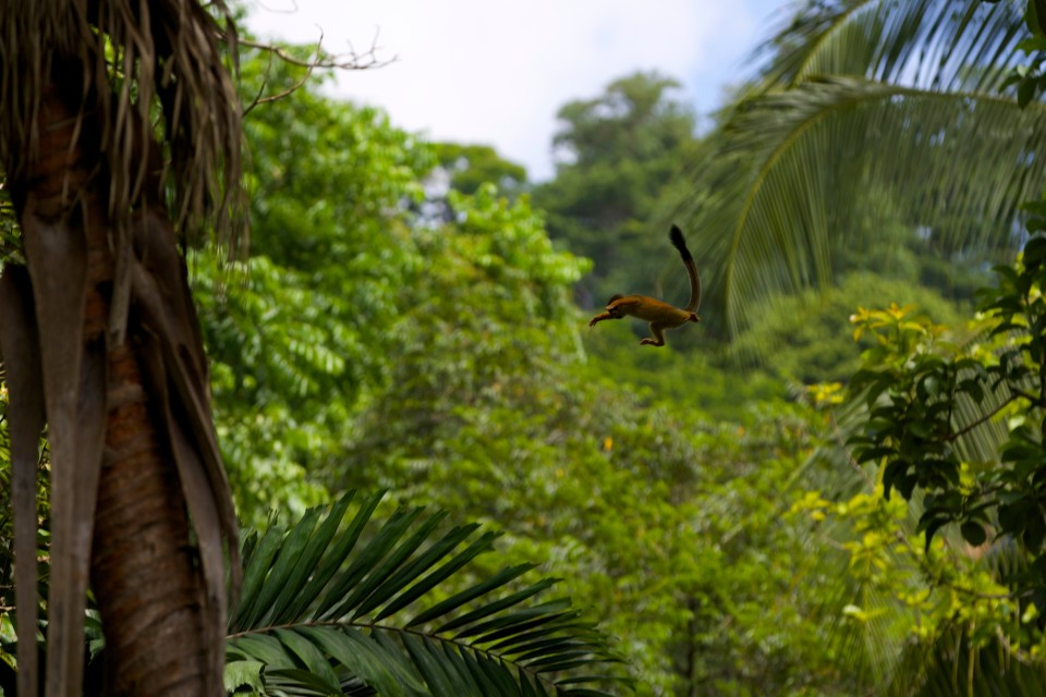 The little squirrel monkey flying from tree to tree.