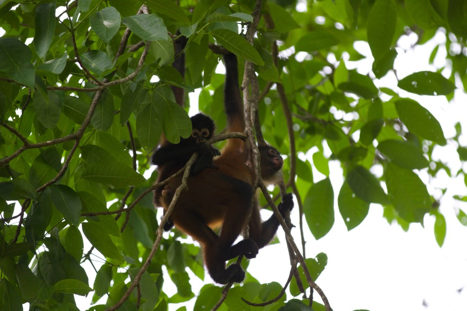 The spider monkeys would fly far distances with their little babies clinging to their back.