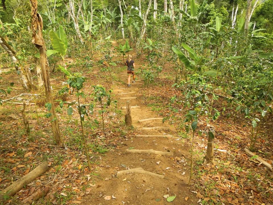 Hiking among the coffee plants.