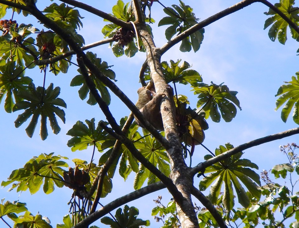 The sloth we saw on one of our hikes.