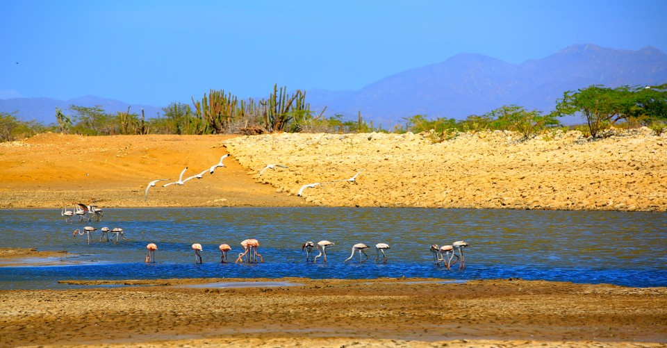 Flamingos in the wild eating shrimp in the briny waters of the desert.