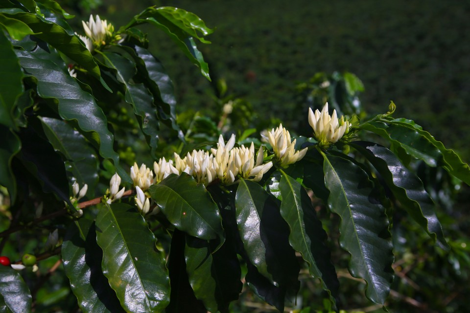 I noticed immediately that the Colombian plants had a strange thing going on. Ripe  red coffee beans and flowers. That was not the case in central america. I asked the owner how that was possible and he told me Colombia is the only coffee growing country with two picking seasons.