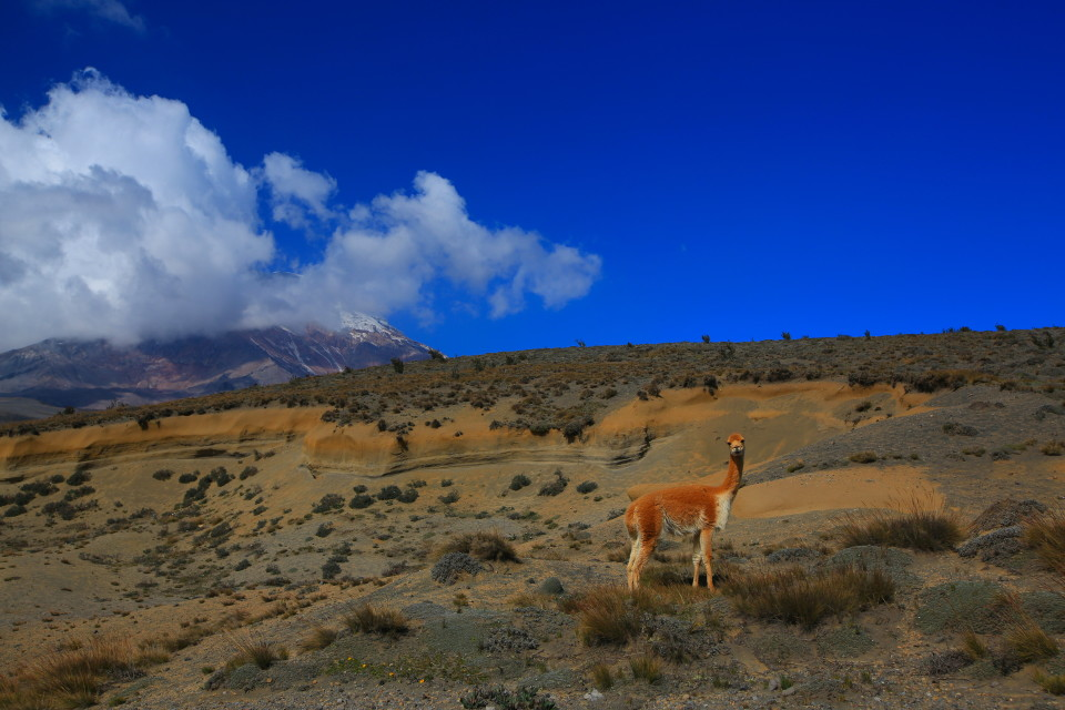 Our first vicuna of the trip.