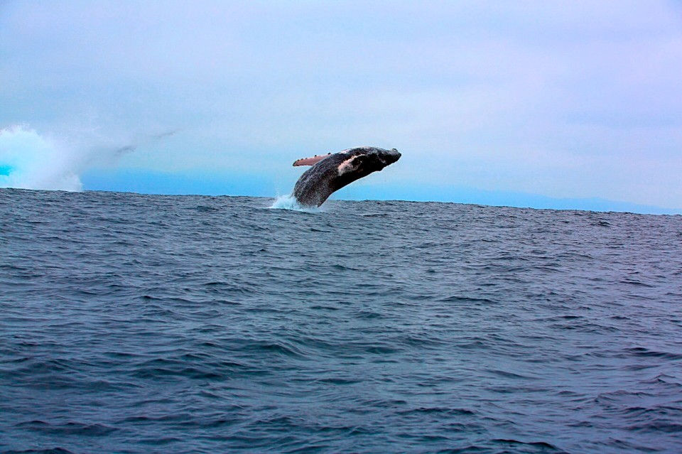 Two whales kept breaching, one after another. I have never seen anything like it before!