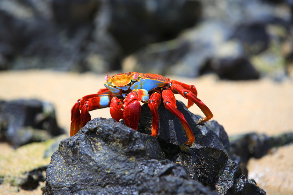The Sally lightfoot crab. They are on every island and are always beautiful.
