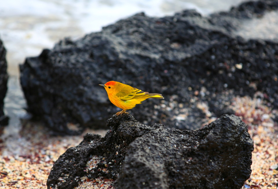 These yellow warblers always looked so colorful against the lava rocks.