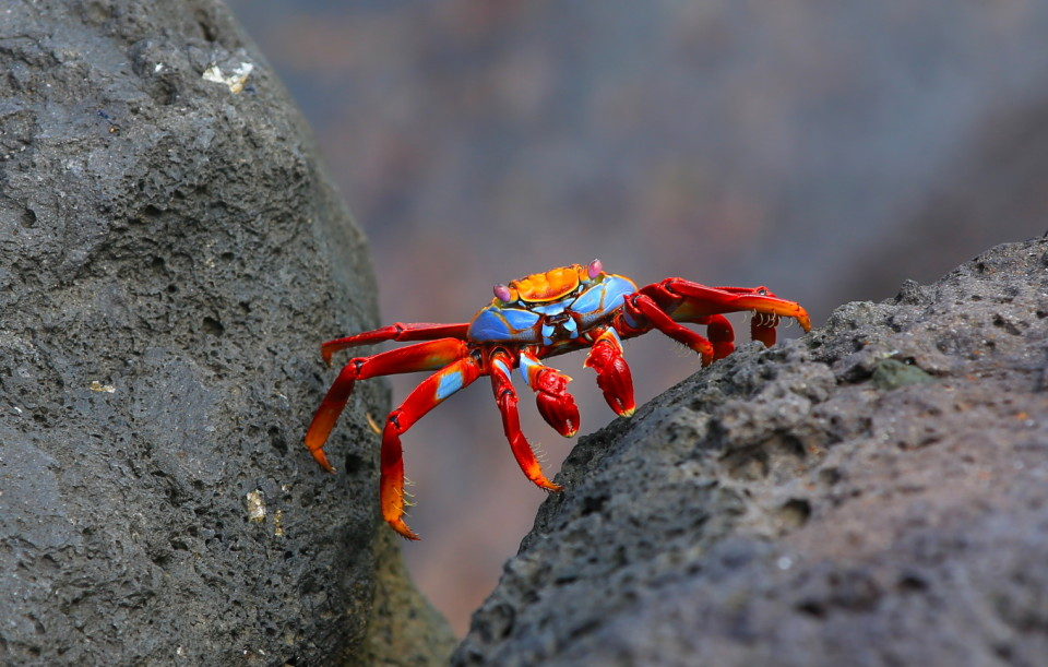 Sam took hundreds (yes hundreds) of pictures of these colorful crabs. they were everywhere.