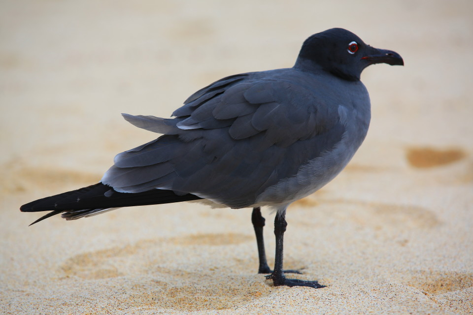 We saw our first Galapagos gull here, they are mostly nocturnal hunters, that is why they have the red ring around their eye, for night vision.