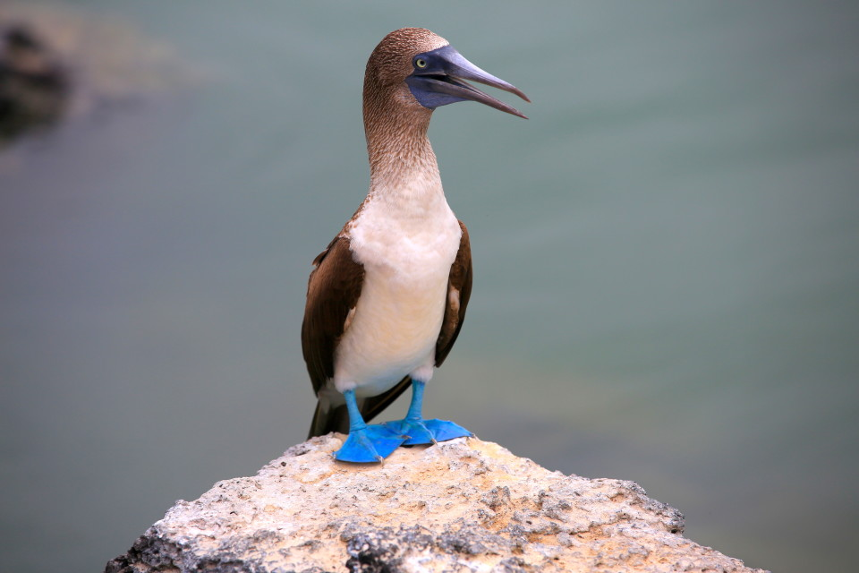 The feet are blue so they can use them is a courting dance to attract the lady boobies. The bluer the better.