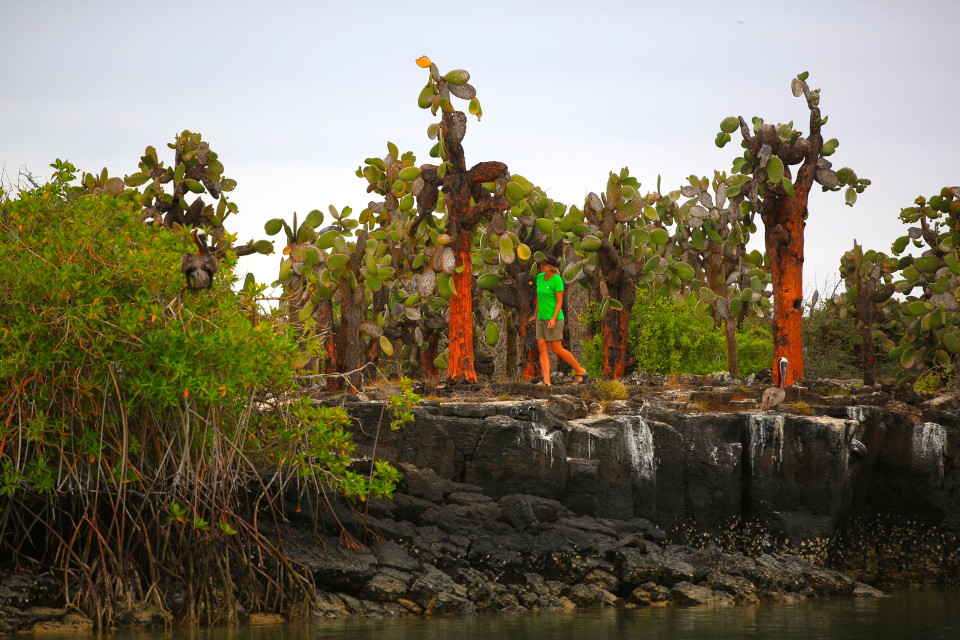 These cactus trees are native to the islands. The Galapagos is the only place they grow.
