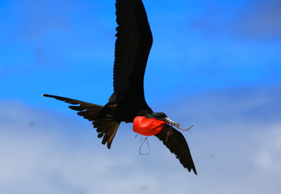 Frigate birds don't hunt and can not go into the ocean. They get all their food by stealing it from other birds and animals on the islands. I was fascinated by that fact. They are literally dependent on the other species to survive. I don't know why the blue footed boobies don't revolt.