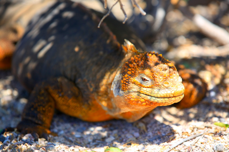 Land Iguana- Only on a few of the more remote islands, the large land iguanas (bigger than the marine ones) spend there day soaking up sun and nights burrowed into holes to maintain body temperature.