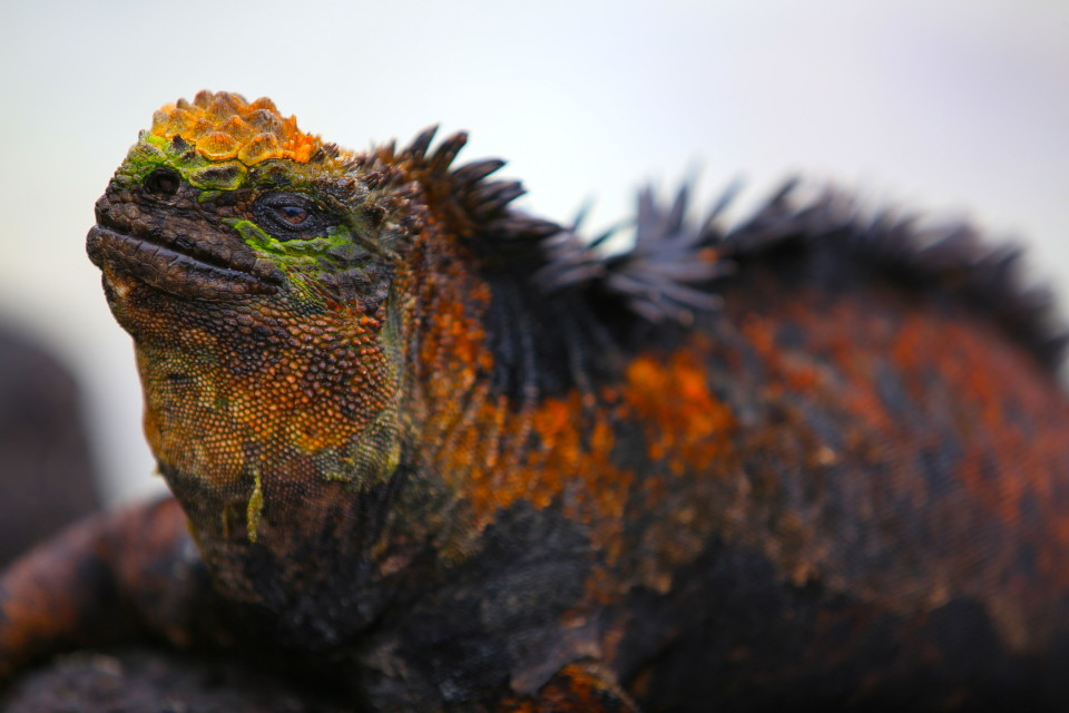A close up of the colorful marine iguanas.