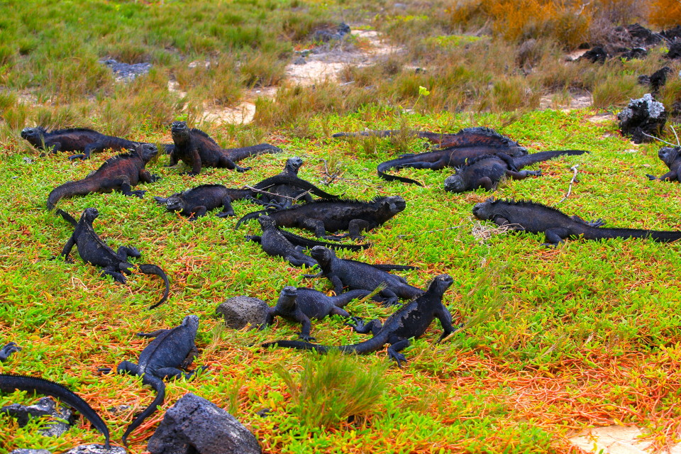 This picture gives you an idea of how many marine iguanas are in the Galapagos.