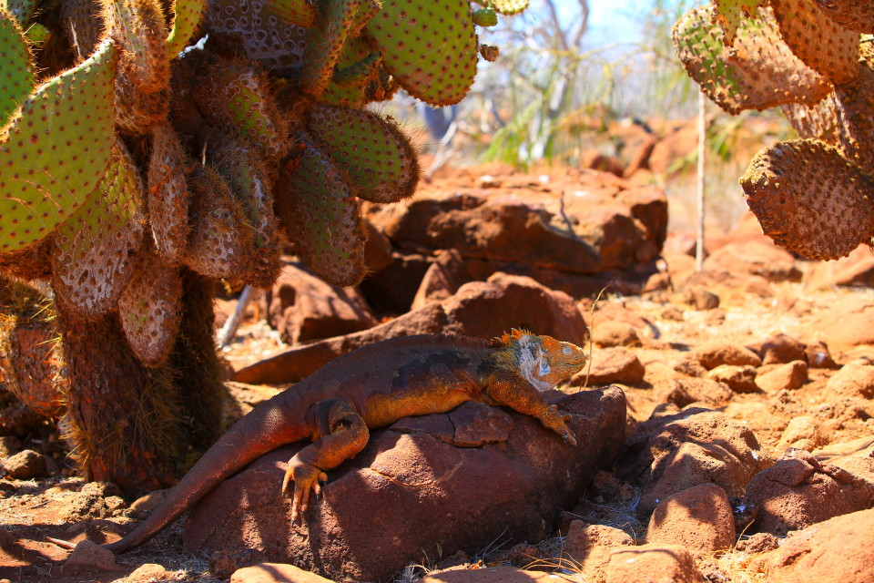 The land iguanas on North Seymour were brought over from neighboring Baltra island in the 1930s when the US made it a marine base (thus killing off all the wildlife on it). Baltra is now the main airport for the Galapagos islands.