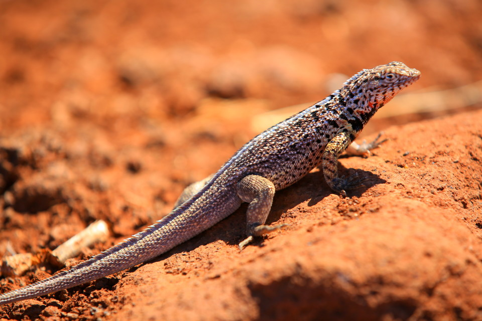 Male Lava lizards do push ups to claim their territory. The pattern of their push ups varies on each island.