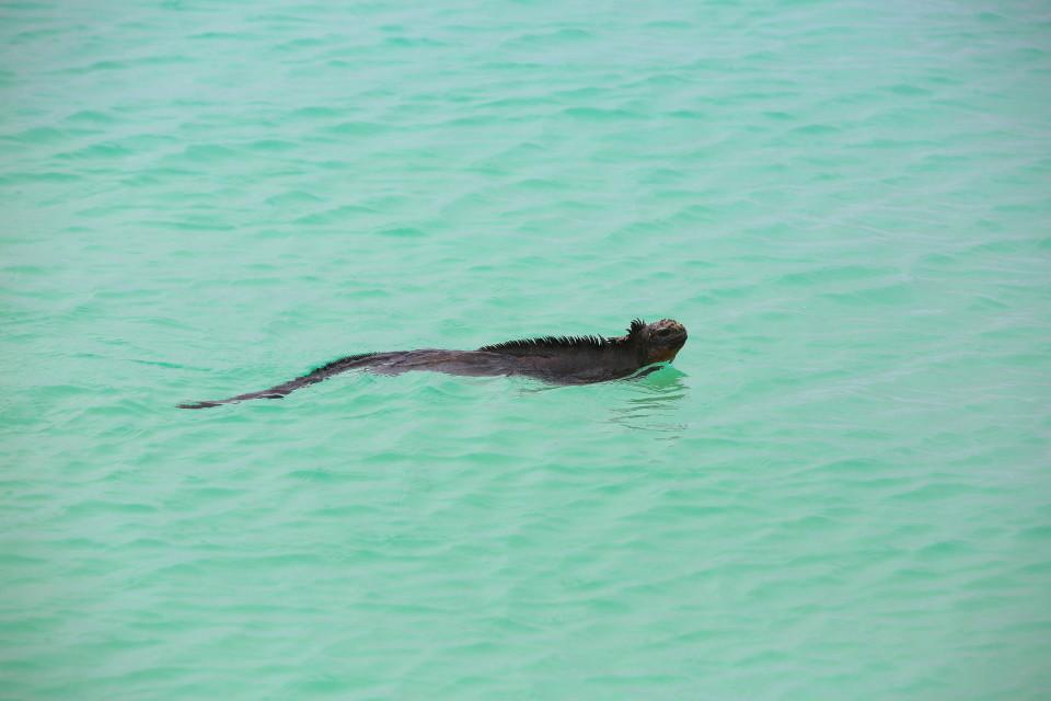 A marine iguana swimming at the beach.