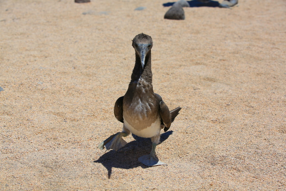 The baby blue footed boobies were fearless. They would come right up and try to grab your camera.