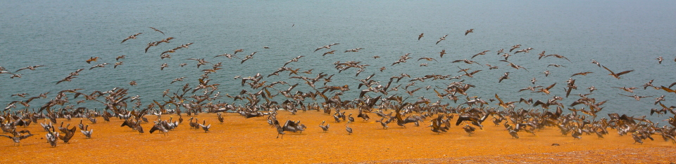 Near the Candelabra, we saw a huge flock of pelicans.  This is testament to how full of fish the ocean is here.