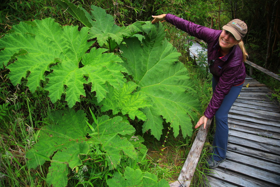 More pictures of the giant Chilean rhubarb plant.
