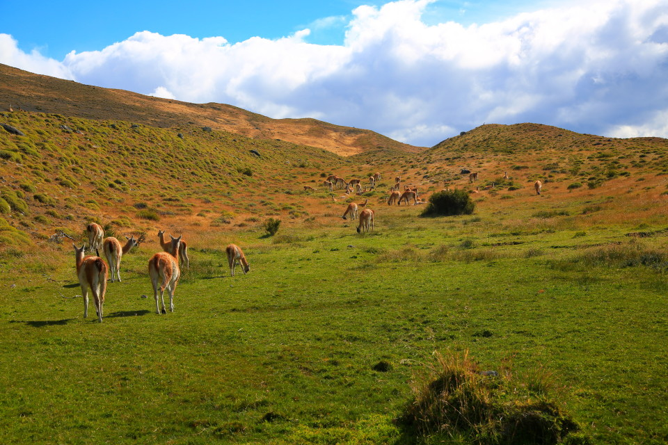 Lots of guanacos in the park.