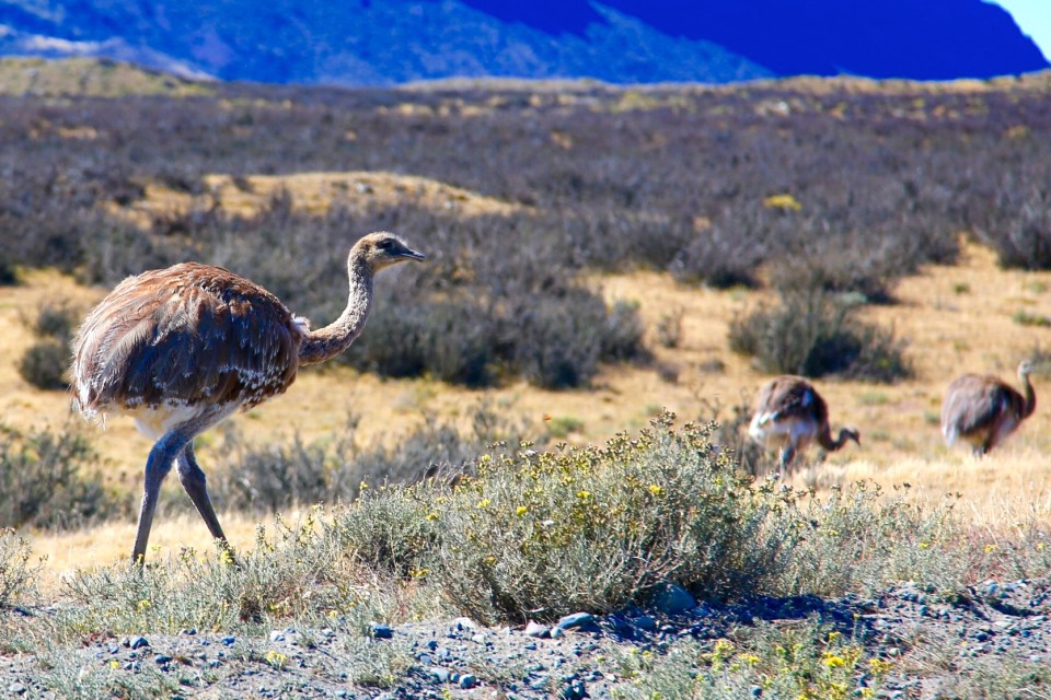 Nandu is what they call rheas in Patagonia. We saw lots of them around the park outskirts.