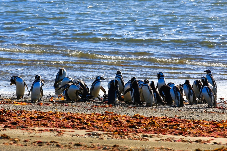 We also visited some Magellanic penguins near Punta Arenas. (Note to other traveler, if you are planning to drive up Ruta 3, skip all Magellanic penguins in Chile. You have to pay almost $20 and there are very few. In Argentina you can see 10,000 for free).