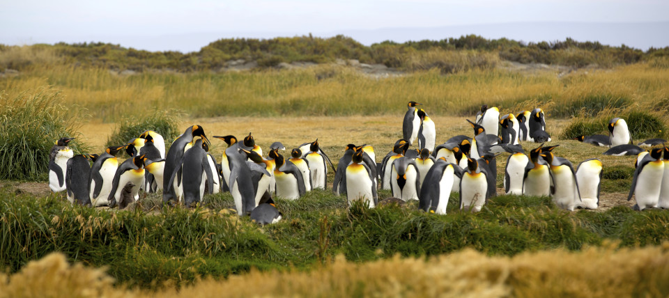 The amazing and huge king penguins!