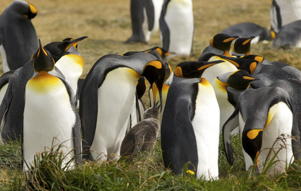 Tierra del Fuego is the only place on the South American continent that has king penguins. All the rest live in Antarctica and the Falkland islands.