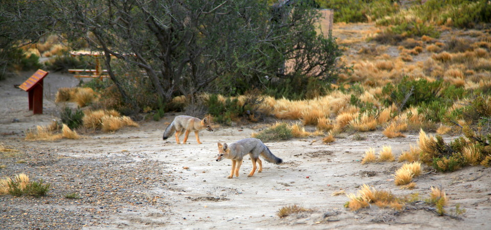 "One more of our ""pet"" foxes. They were great entertainment."