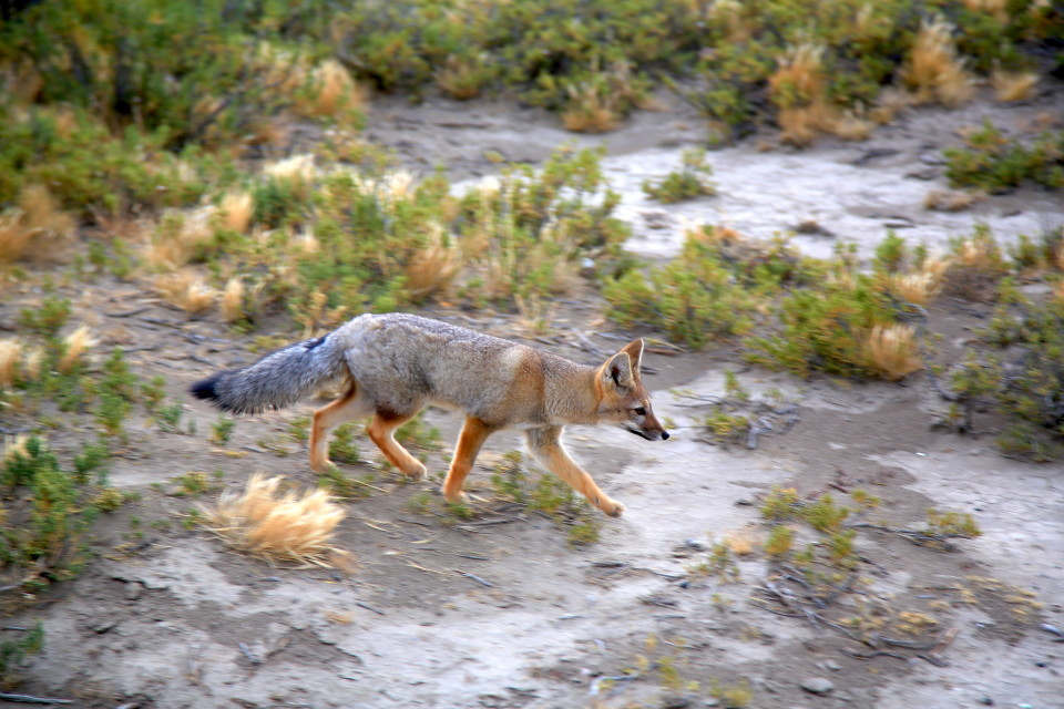 The Patagonia foxes were often very brave in areas where there were people. I think they have been fed a few times unfortunately.