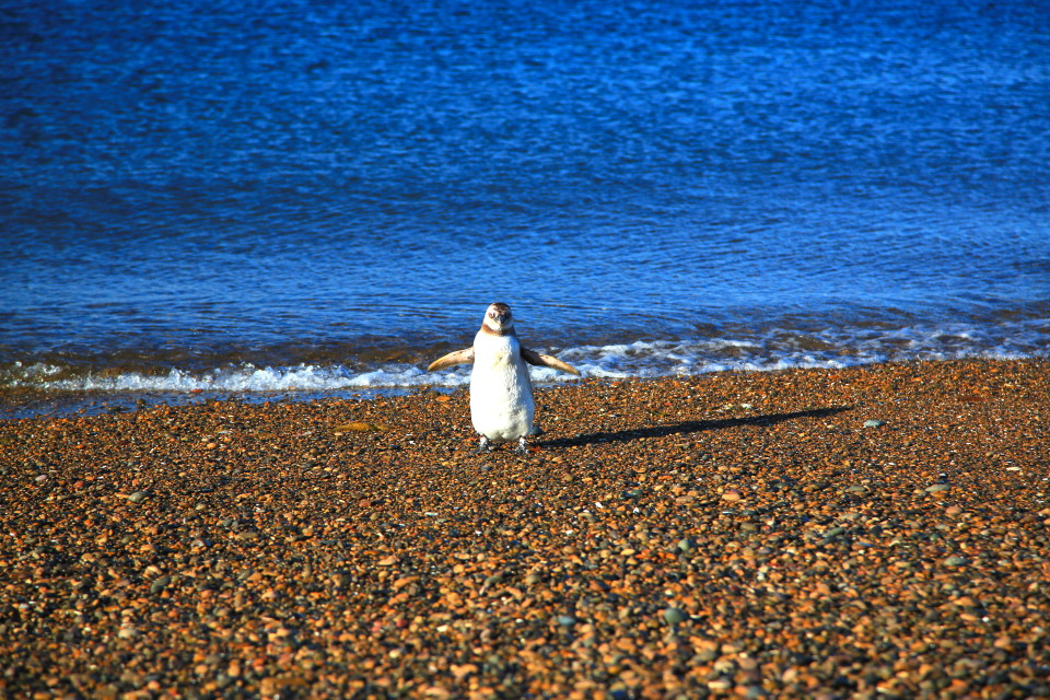 Just when I think the Atlantic reminds me of the ocean back in California a penguin will remind me I am a long long way from home.
