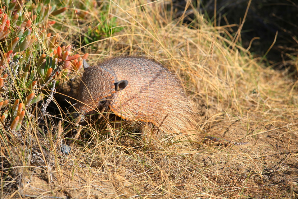 And another little armadillo.