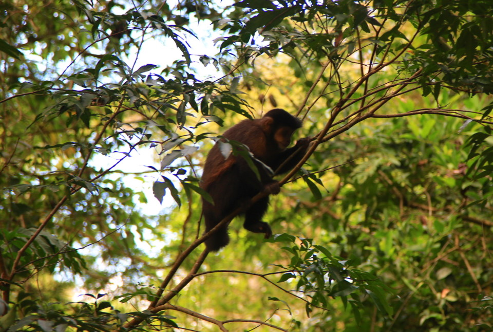 A monkey hides from tourists up in the trees.